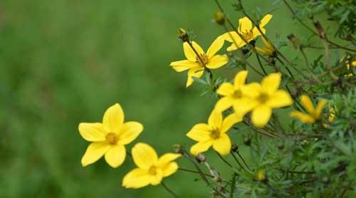 hoa-flower-chaymoc