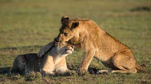 sư-tử-tìm-con