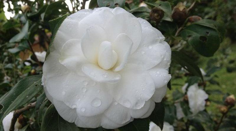 Hoa trà trắng than thản chay mộc
