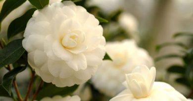 Hoa trà trắng tinh khôi chay mộc