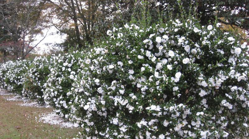 Vườn hoa bạch trà nở rộ chay mộc