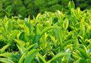 Uống trà xanh có tác dụng ngăn ngừa bệnh tiểu đường, tim mạch và ung thư