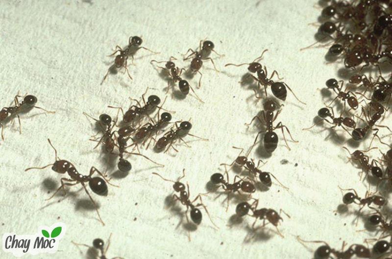 Một tháng sau, chẳng hiểu vì sao đàn kiến lũ lượt kéo đến nhà tôi.